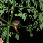Aotus-trivigatus---night-monkey